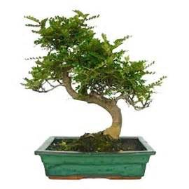 bonsa 239 d int 233 rieur operculicarya 10 ans plantes et