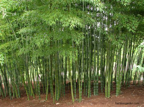 harga pohon bambu jepang jual bambu kuning  bambu panda