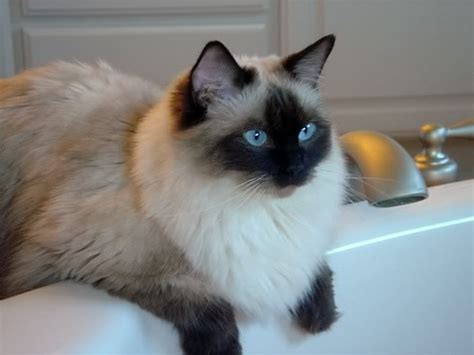 color point cat ragdoll seal colorpoint cats and cats and