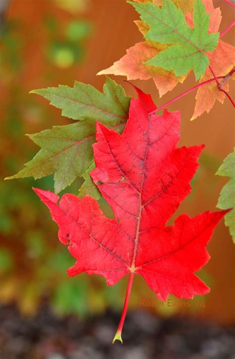 autumn hangs  intensely red autumn sugar maple leaf