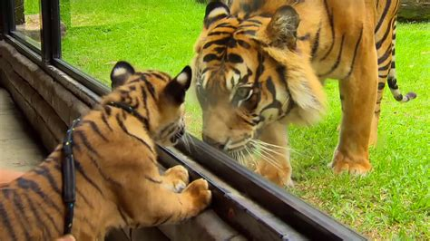 cubs meet tiger for the time tigers about