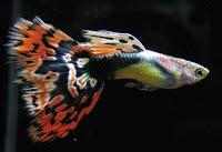 Hiasan Rasbora Harlequin Untuk Aquascape Aquarium Akuarium 2 jenis ikan yang cocok untuk aquascape mancing info