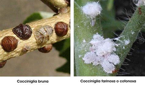 come curare il gelsomino in vaso cycas cycadaceae come curare e coltivare le piante di
