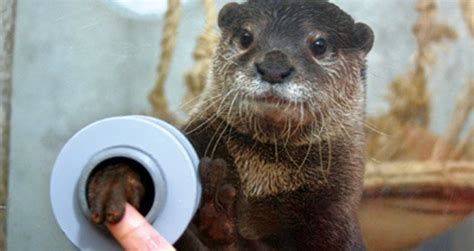 otter facts  interesting facts  otters