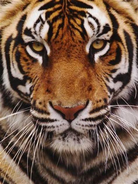 what s your name tigris bengal tiger panthera tigris asia photographic