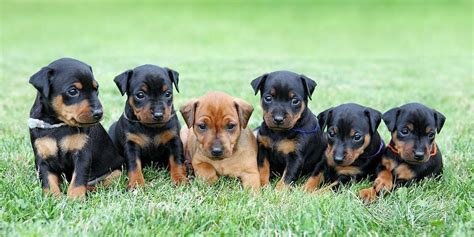 mini pinscher miniature pinscher information characteristics facts names