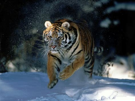 Animal Free Wallpapers Animal Tiger Free Wallpapers Free Pics Of Animals