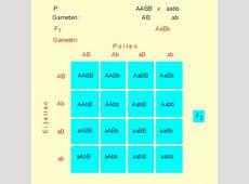 LON-CAPA Botanik online: Klassische Genetik - Mendel F1 Generation Punnett Square