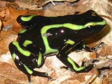 el intestino feliz camo types of dendrobates auratus with pictures the frog lady