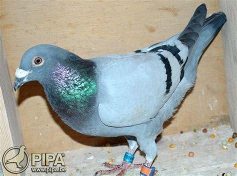 jean marc caro pigeons limoges i 2018 pipa