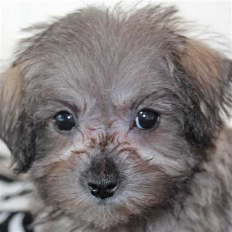 schnoodle puppies florida schnoodle puppy for sale in boca raton south florida