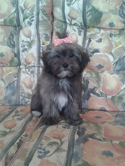 schnoodle puppies for sale only 2 remaining malpas cheshire gorgeous f1 toy lhasapoo s only 3 remaining malpas