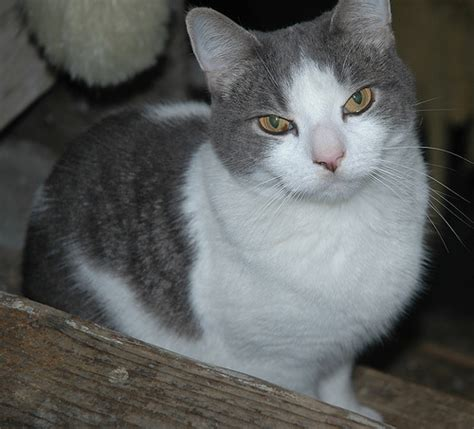 grey breeds grey and white cat breeds www imgkid the image kid has it
