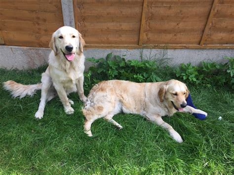 golden retriever birmingham 2 beautiful golden retrievers need forever home