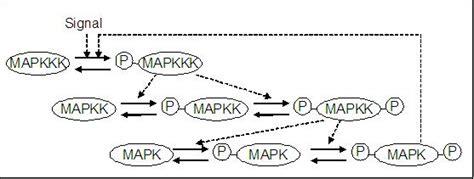 protein kinase cascade mapk