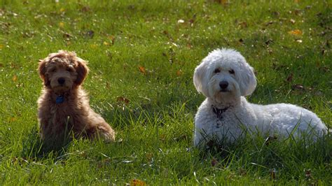 mini goldendoodle puppies doodle country mini goldendoodle puppies family raised