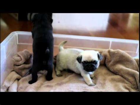 pugs fighting pug puppies fighting pug