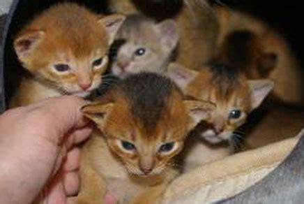 manhattan puppies and kittens manhattan kittens for sale manhattan puppies kittens