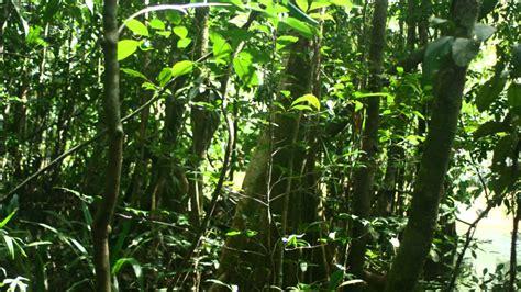 la selva tropical sonidos reales de la selva tropical youtube