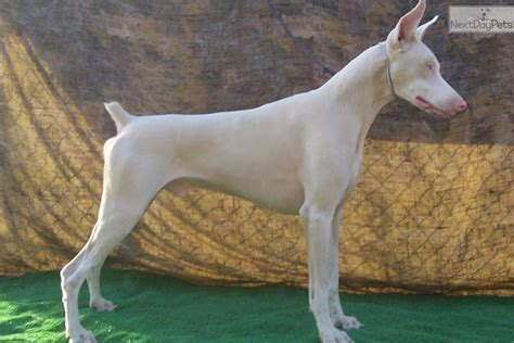 white doberman puppies for sale doberman pinscher puppy for sale near fresno madera california 341d0c43 7261