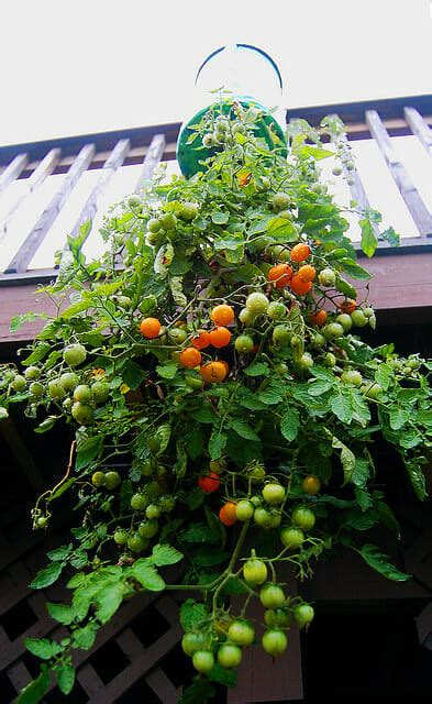 Inverted Tomato Planter by Gardens For