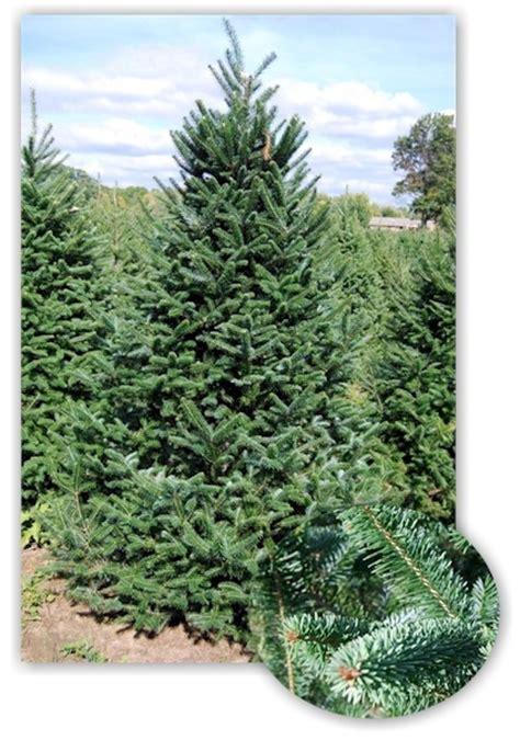 canaan fir garden ideas pinterest