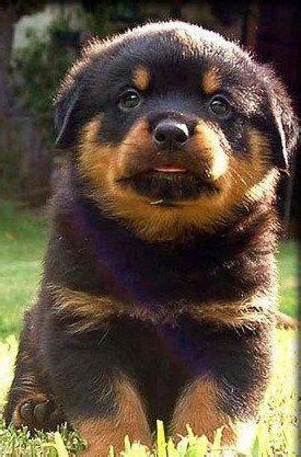 baby rottweiler pictures best 25 baby rottweiler ideas on pictures of rottweilers adorable