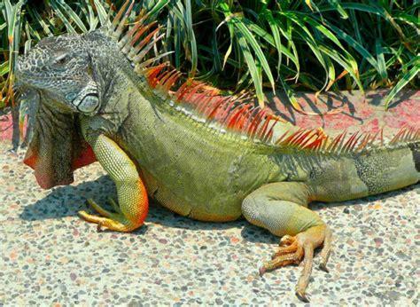 imagenes de iguanas rojas iguana animal wildlife