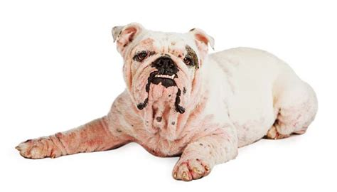 demodicosis in dogs demodectic mange in dogs everything owners need to nextgen