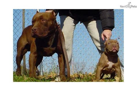 pitbull puppies for sale in st louis american pit bull terrier puppy for sale near st louis missouri 99353ae8 b4d1
