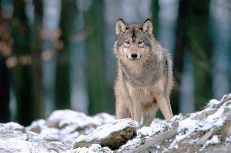 imagenes sorprendentes de lobos im 225 genes de un lobo gris im 225 genes y fotos
