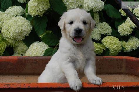 golden retrievers for sale in toledo ohio golden retriever puppy for sale near toledo ohio c6d3dccd e7d1