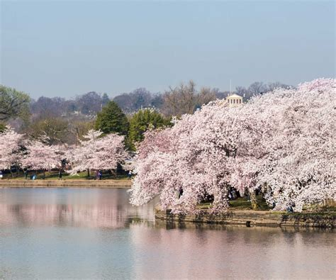swan boats washington dc peaceably at national cherry blossom along with a swan