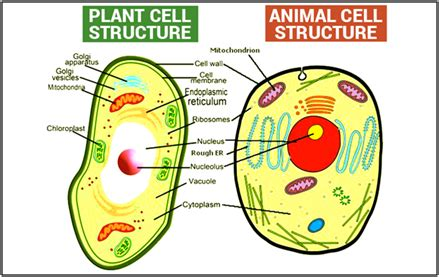 difference  plant  animal cell structural