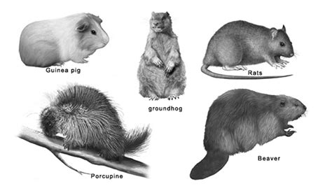 Small Animals Type C rodents science facts for about rodents