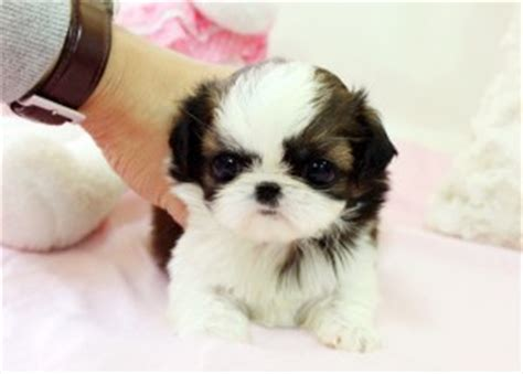 teacup shih tzu rescue pets new york ny free classified ads
