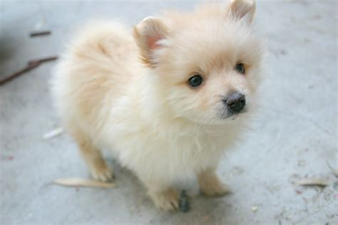 where to find a pomeranian husky pomeranian puppies for sale auto design tech