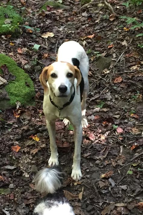 dogs for adoption in ky images of adopt a foxhound find dogs for adoption breeds picture