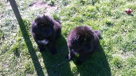 tibetan mastiff puppy for sale pin tibetan mastiff puppies for sale on