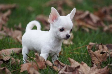 chihuahua puppy want pinterest chihuahuas chihuahua welpen und sommersprossen