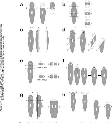 regeneration and pattern formation in planarians iii fundamentals of planarian regeneration semantic scholar