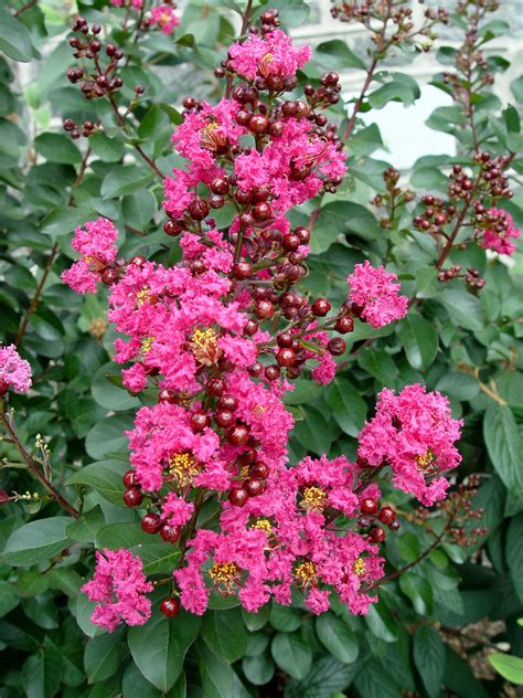 small shrubs with flowers crape myrtle pink velour garden housecalls