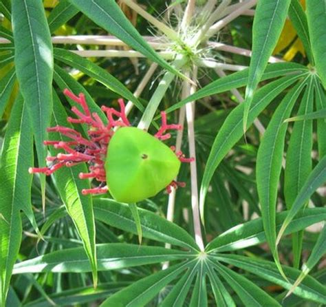 Obat Yodium tanaman yodium jarak tintir bibitbunga