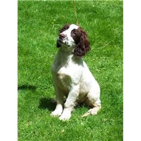 field springer spaniel puppies for sale beautiful chion field bred springer spaniel puppies for sale ad 59520