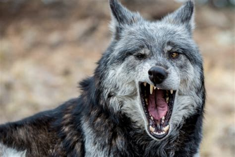 Smiling Wolf smiling wolf other animals background wallpapers on