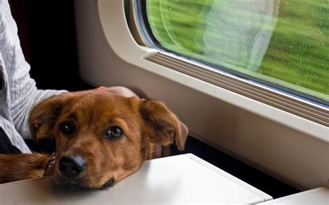 are dogs allowed on amtrak permission to ride a guide to friendly transportation rover