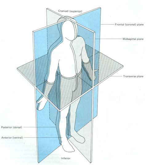 anatomical sections of the body anatomical planes physical body pinterest