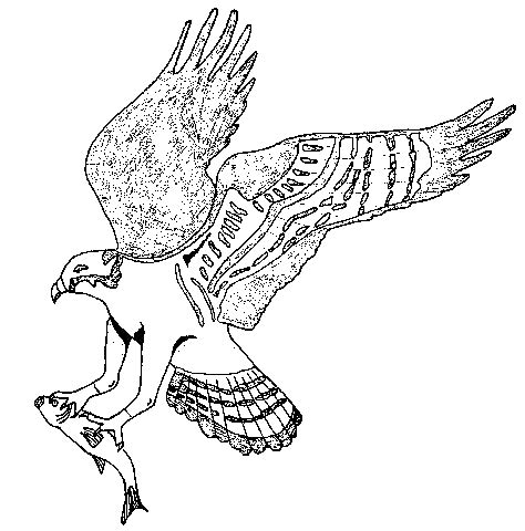 osprey coloring page animals town free osprey color sheet
