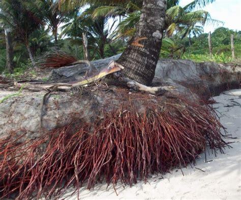 Nutris Unt Daun Akar Buah Bunga2bungkus manfaat pohon kelapa bagi manusia bibitbunga