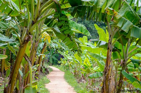 28 best what country decorates mango and banana trees at